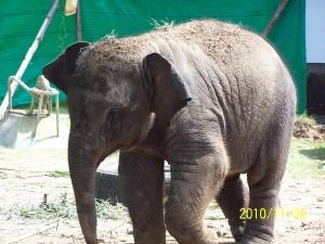 слоны в тайланде,белый слон тайланд,остров слон в тайланде,катание на слонах в тайланде, остров Ко Чанг(остров слон)