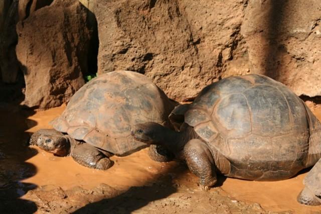 Галапагосские острова,галапагосские черепахи,чудеса природы