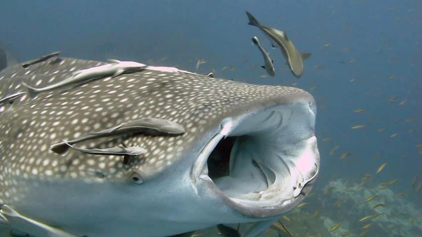Китовая акула фото, подводное  видео, подводный мир, острова Тайланда, дайвинг на Самуи