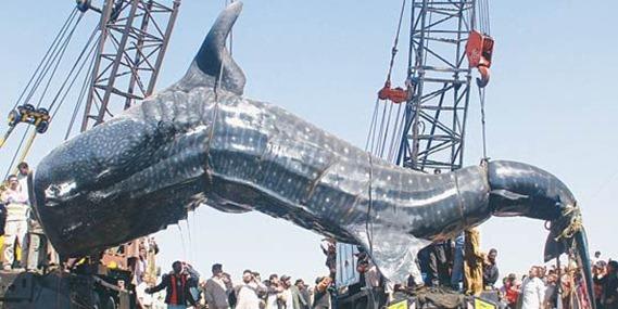 Китовая акула фото видео острова Тайланда