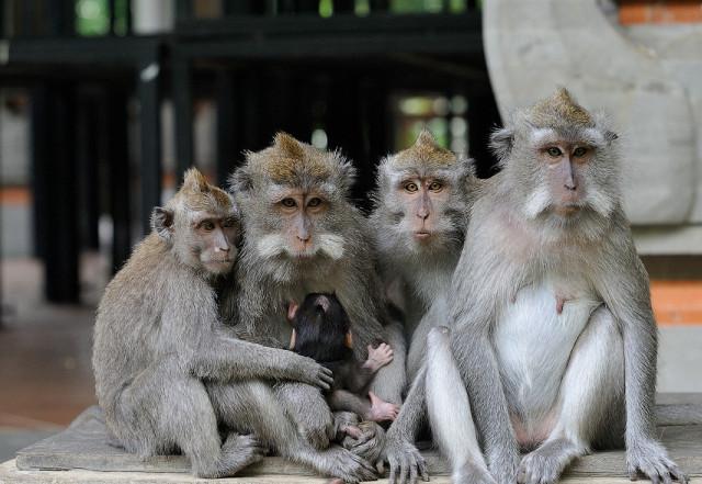 обезьян, храма, здесь, очень, обезьяны, территории, диких, поэтому, лес, также, еду, более, просто, макаки, бали, могилы, храм, леса