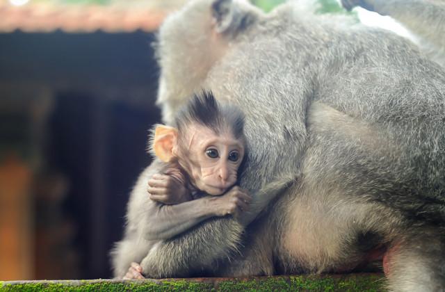 обезьян, храма, здесь, очень, обезьяны, территории, диких, поэтому, лес, также, еду, более, просто, макаки, бали, могилы, храм, леса макаки-крабоеды