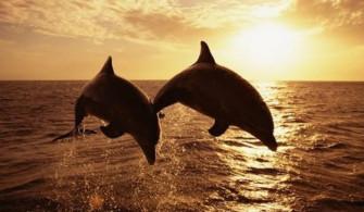 Ловина, дельфины