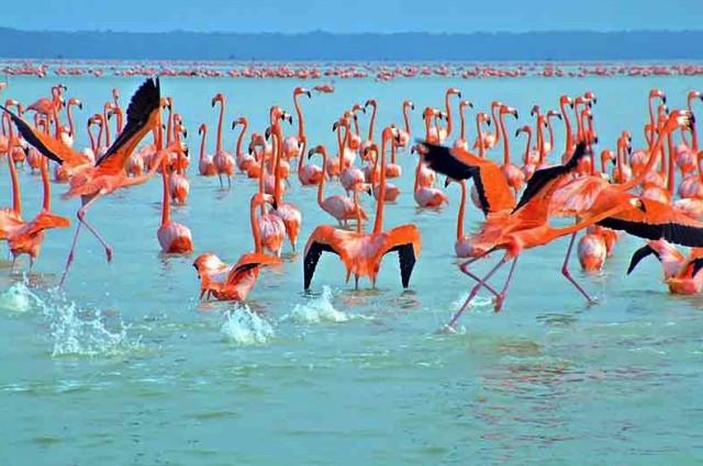 заповедники мексики, розовые фламинго фото, миграция птиц в мексике,фауна мексики
