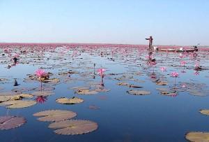 Цветок лотоса фото, сад тайланд ,цветок тайланда, море цветов