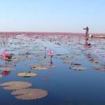 Цветок лотоса. Море цветов